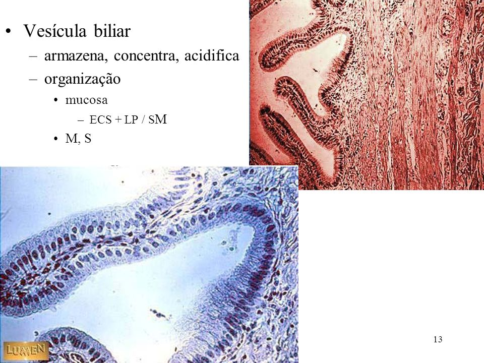 Vesícula biliar armazena, concentra, acidifica organização mucosa M, S