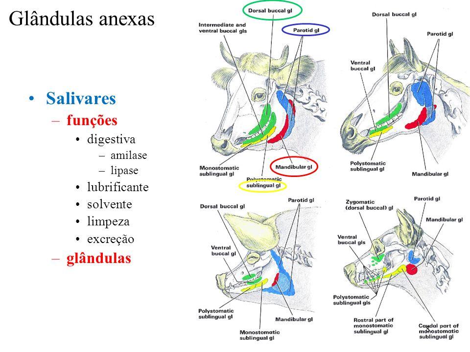 Glândulas anexas Salivares funções glândulas digestiva lubrificante