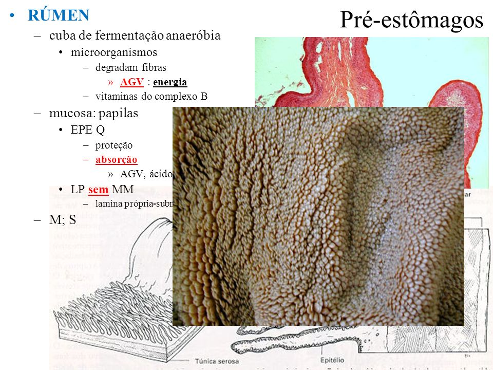 Pré-estômagos RÚMEN cuba de fermentação anaeróbia mucosa: papilas M; S