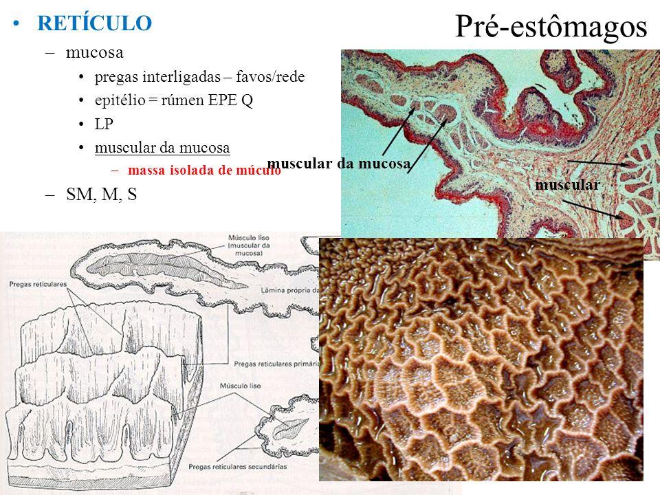 Pré-estômagos RETÍCULO mucosa SM, M, S
