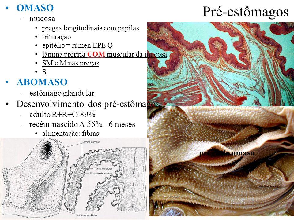 Pré-estômagos OMASO ABOMASO Desenvolvimento dos pré-estômagos mucosa