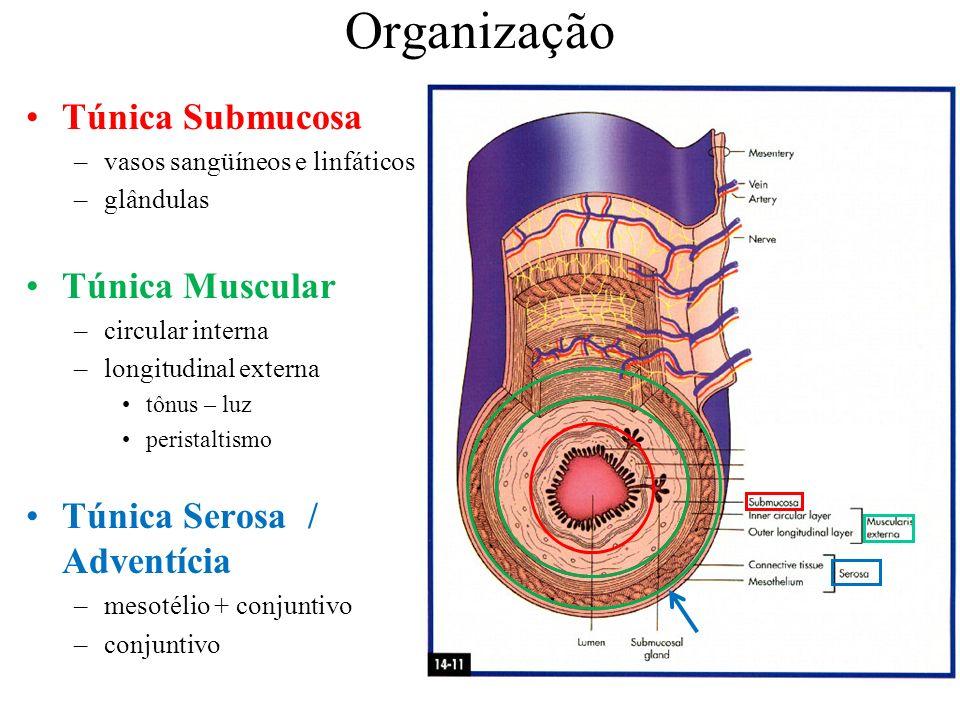Organização Túnica Submucosa Túnica Muscular