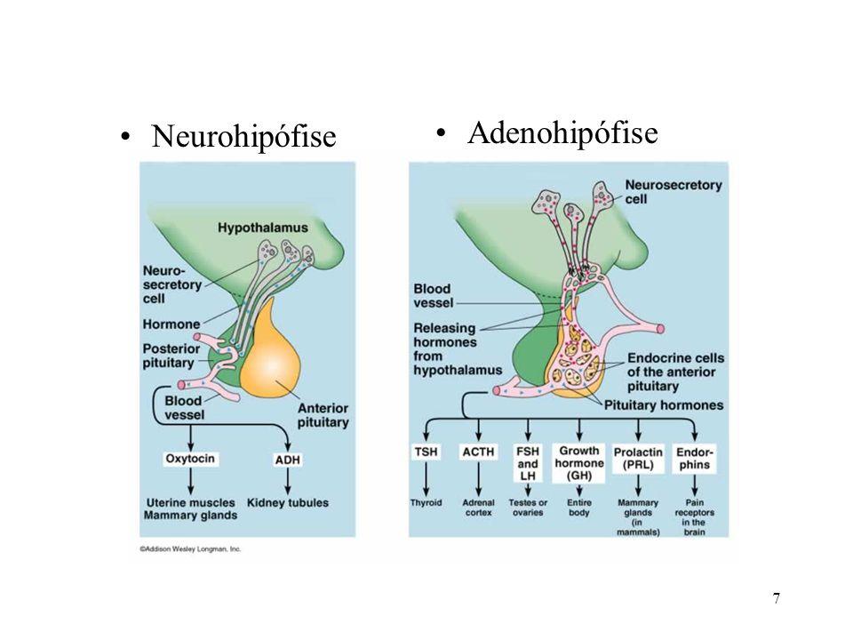 Adenohipófise Neurohipófise