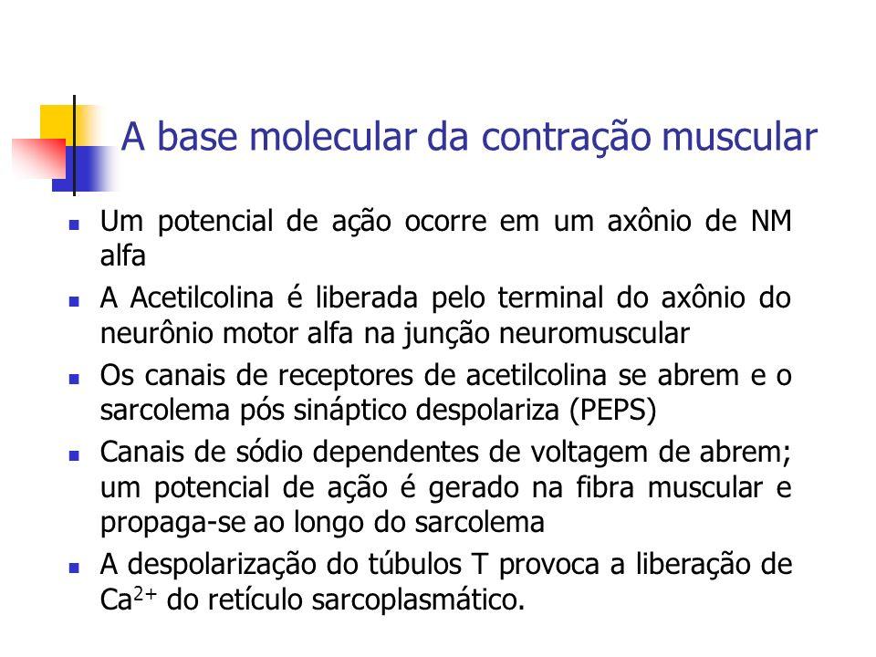 A base molecular da contração muscular