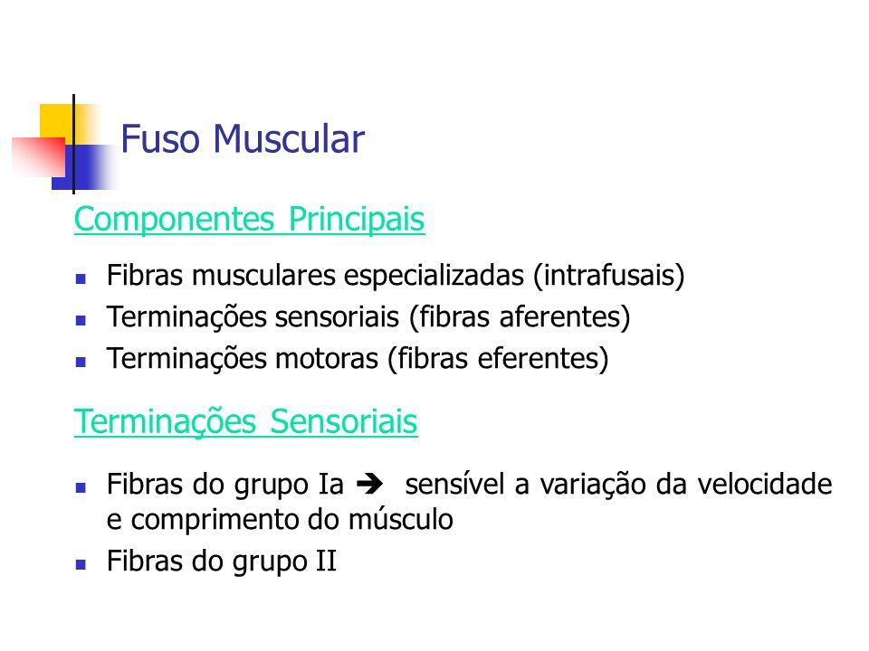 Fuso Muscular Componentes Principais Terminações Sensoriais