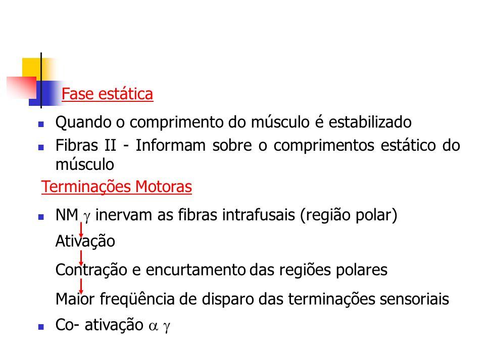 Fase estática Quando o comprimento do músculo é estabilizado. Fibras II - Informam sobre o comprimentos estático do músculo.