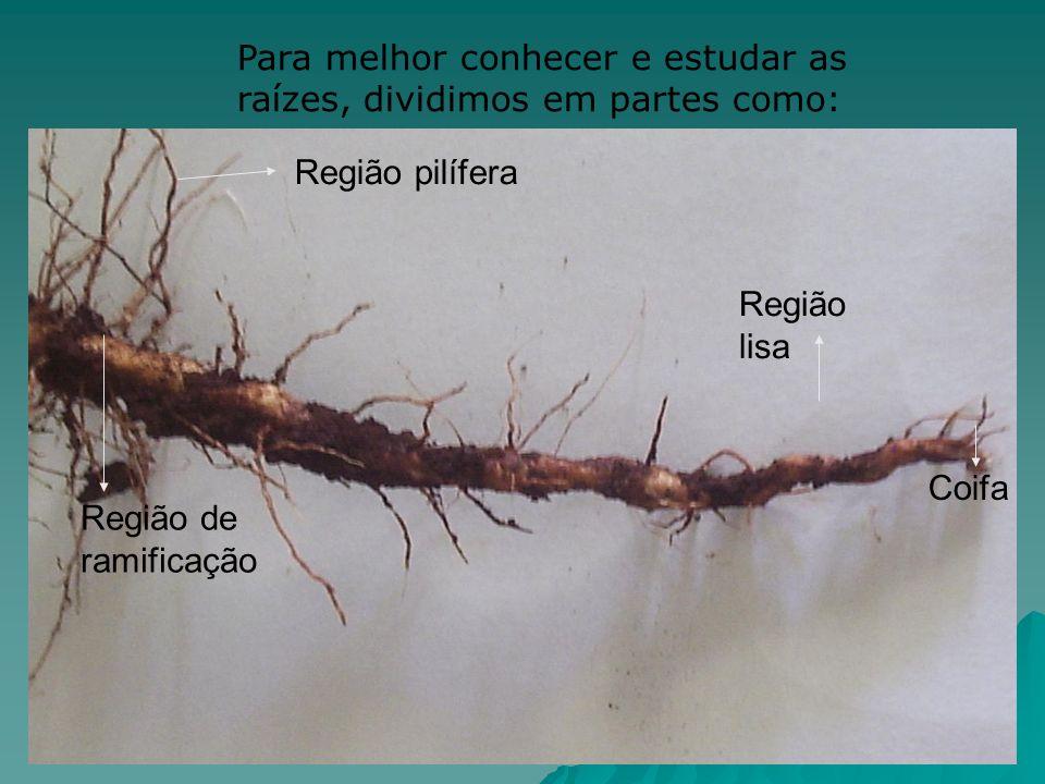 Para melhor conhecer e estudar as raízes, dividimos em partes como: