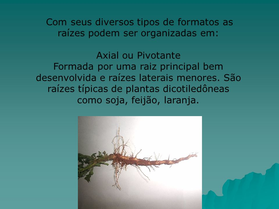 Com seus diversos tipos de formatos as raízes podem ser organizadas em:
