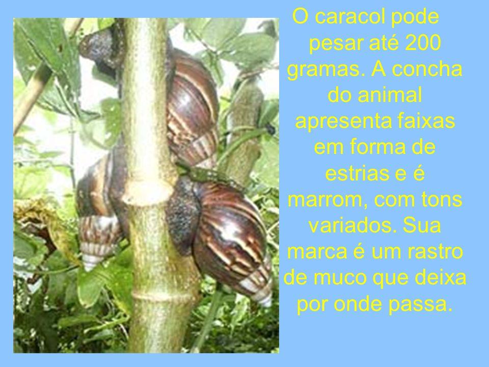 O caracol pode pesar até 200 gramas