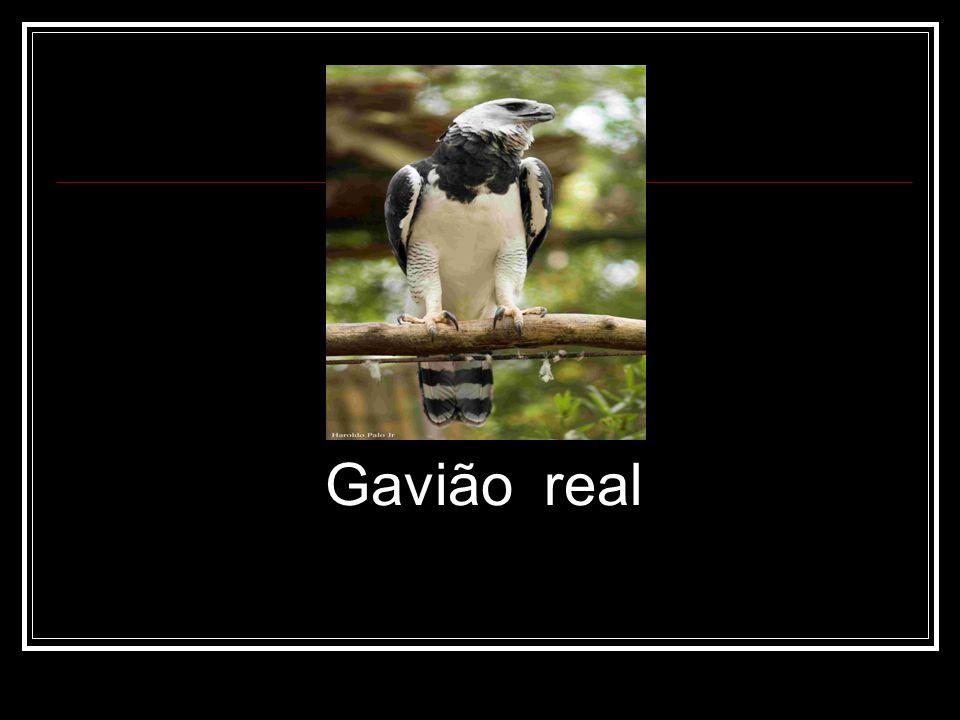 Gavião real