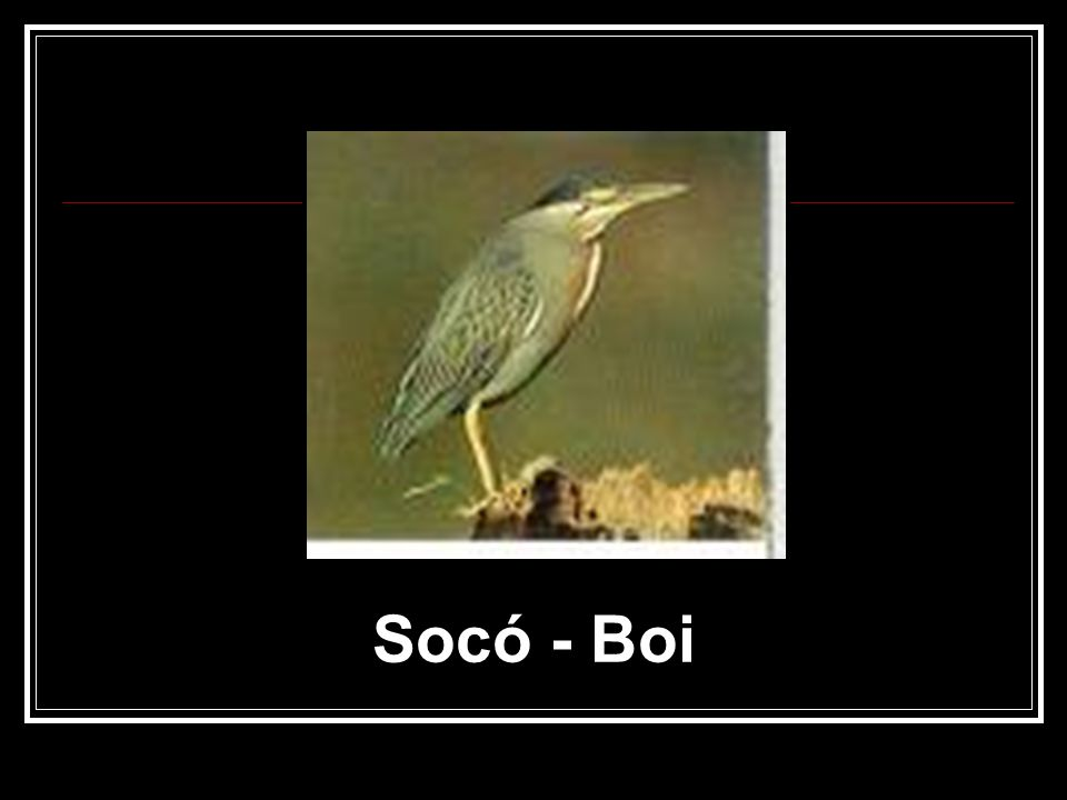 Socó - Boi