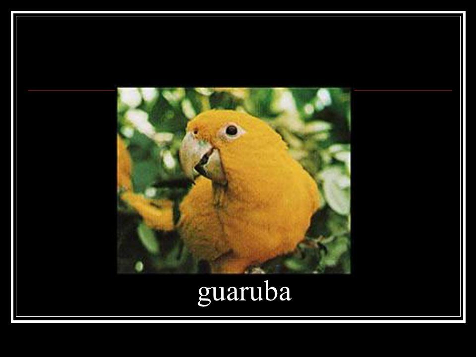guaruba