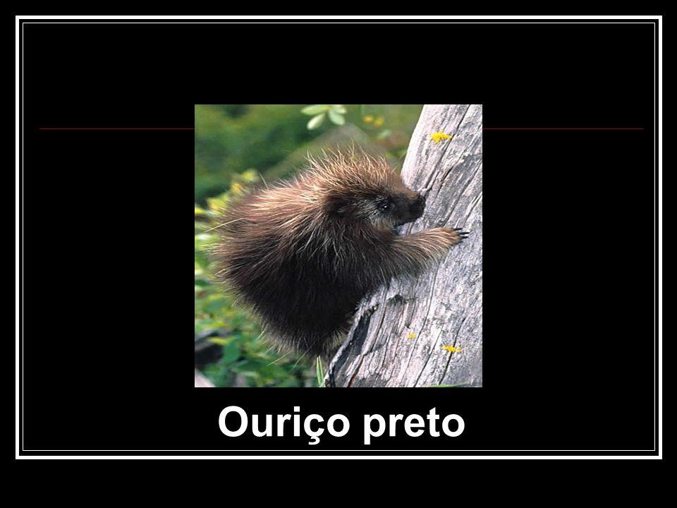 Ouriço preto