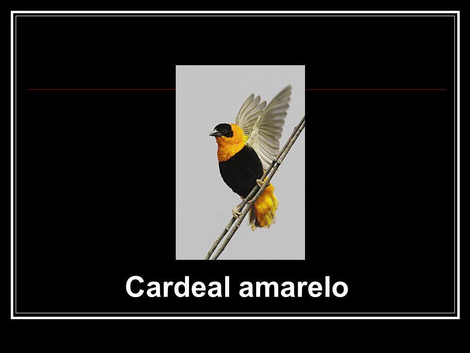 Cardeal amarelo