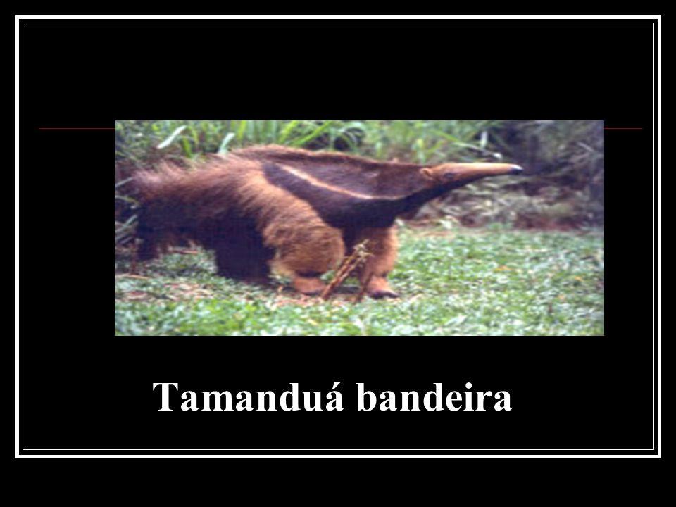 Tamanduá bandeira