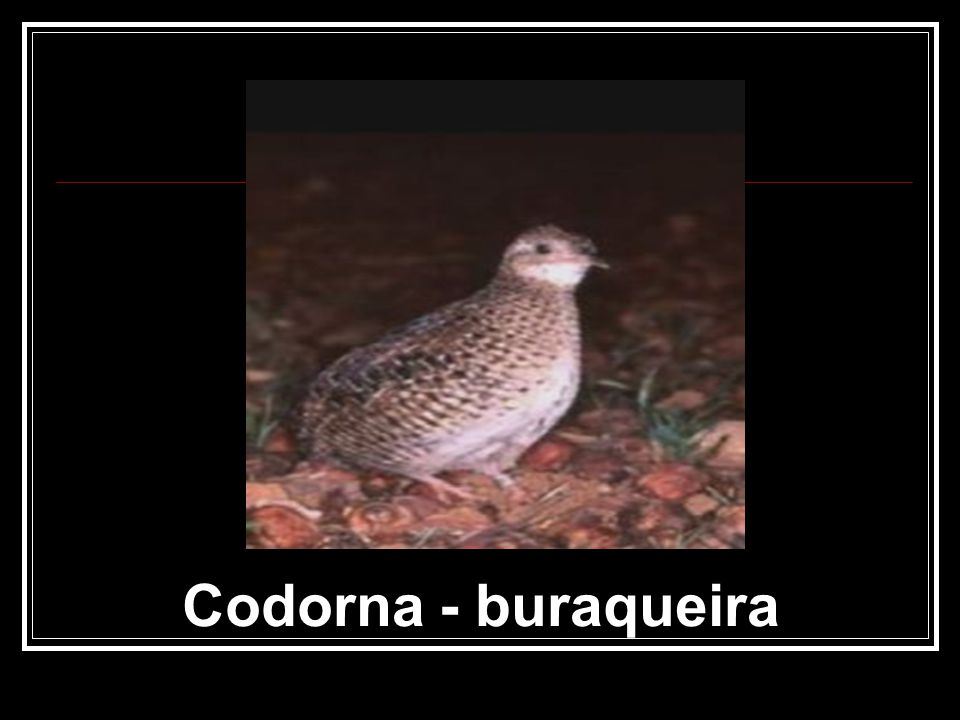Codorna - buraqueira