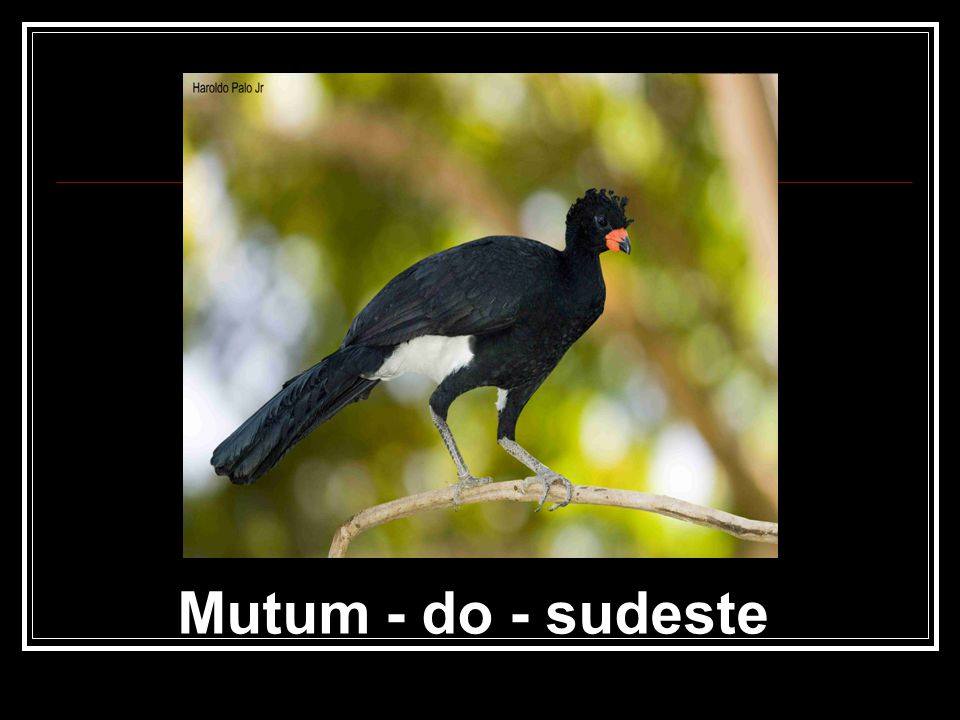 Mutum - do - sudeste
