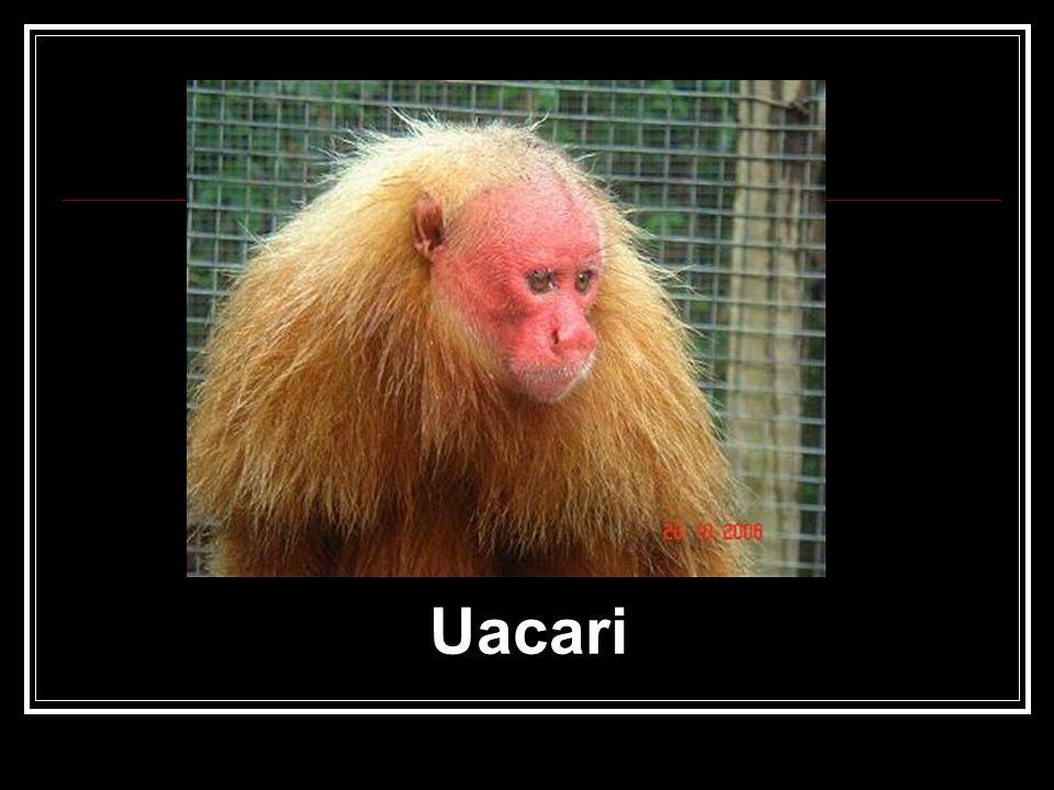 Uacari