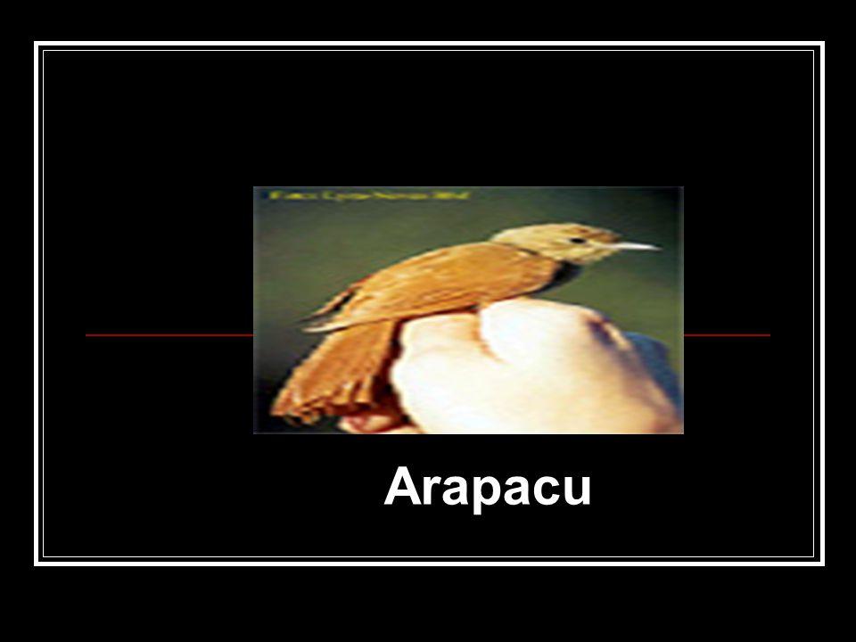 Aracu Arapacu