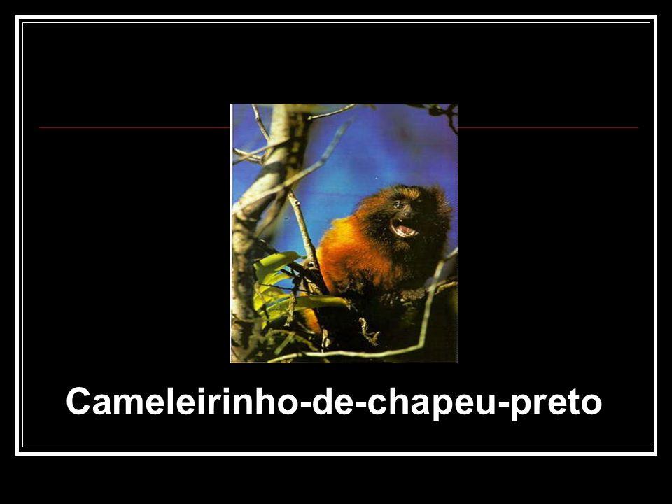 Cameleirinho-de-chapeu-preto