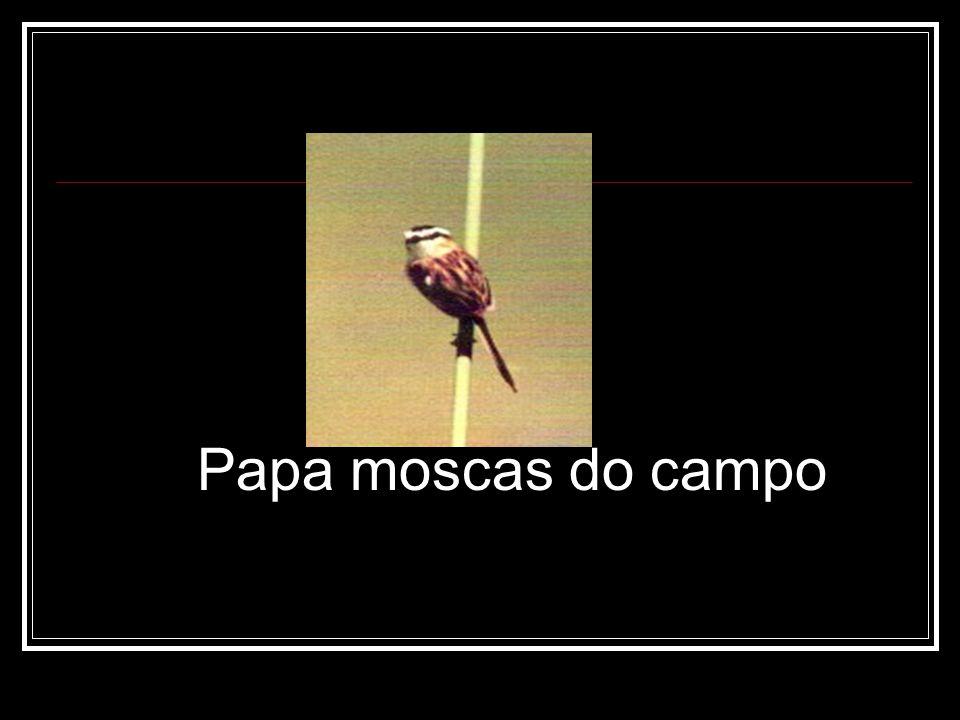Papa moscas do campo