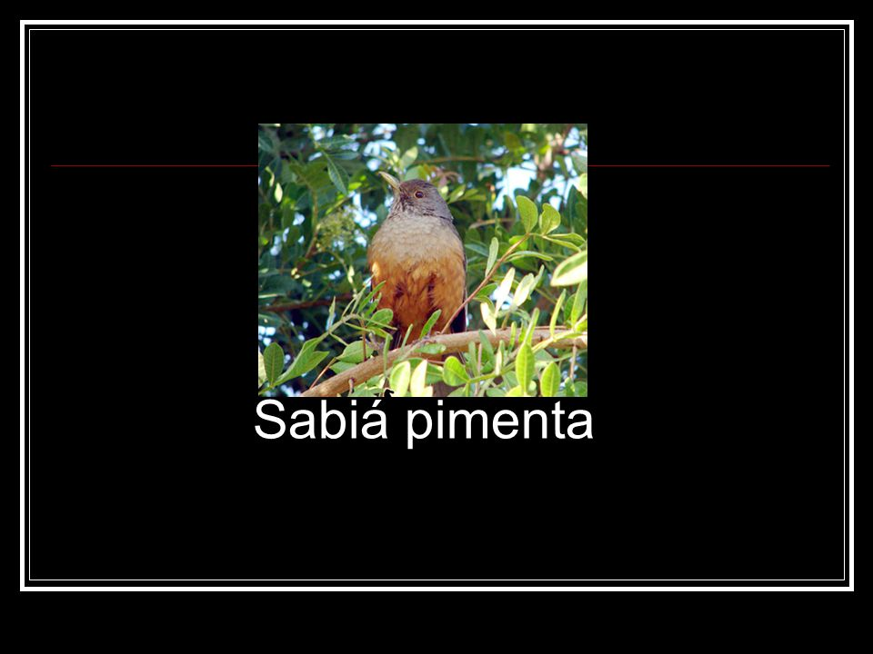 Sabiá pimenta
