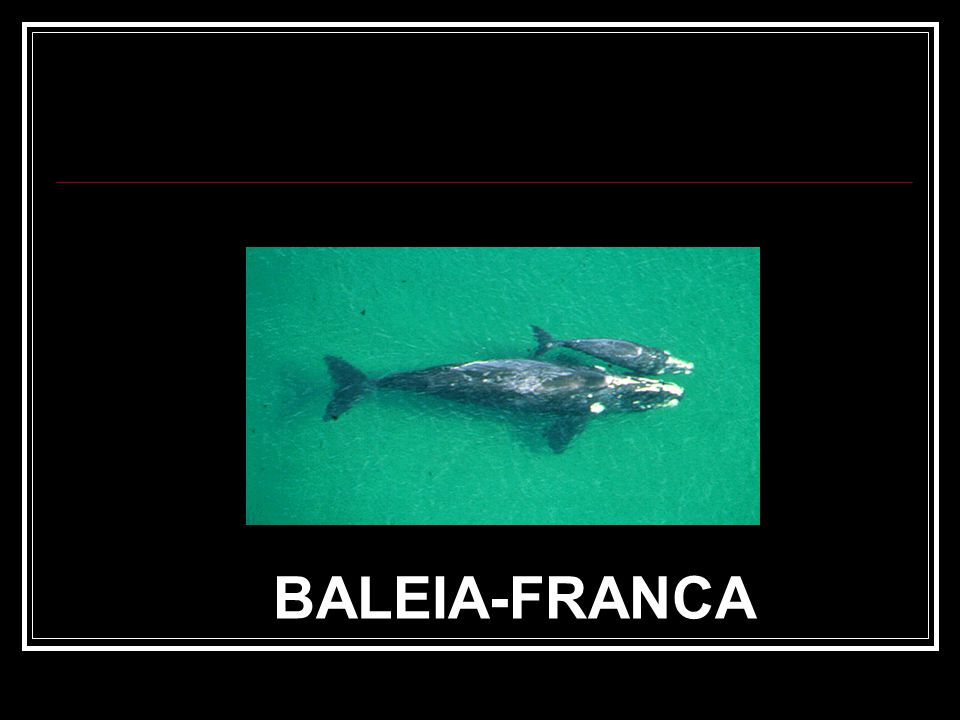 BALEIA-FRANCA