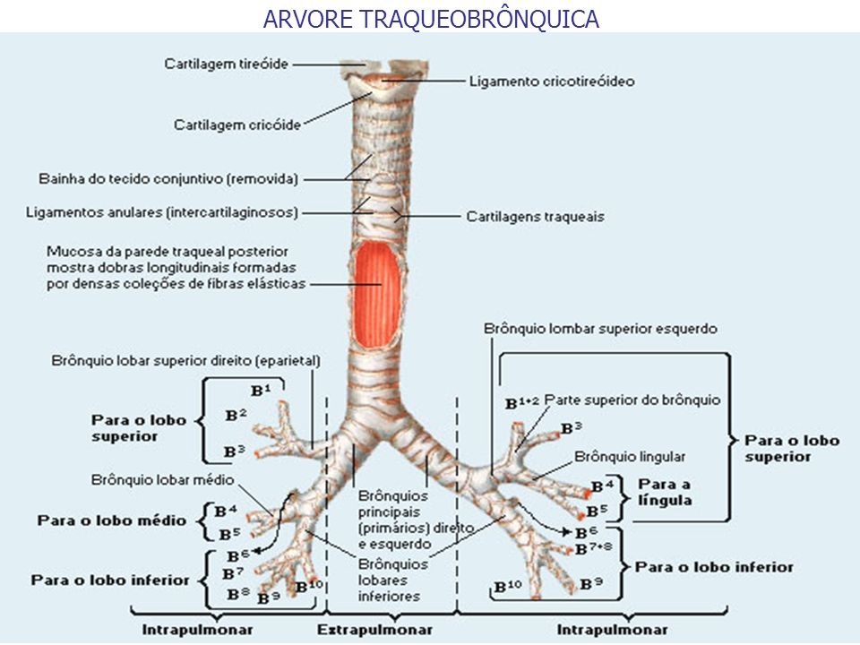 ARVORE TRAQUEOBRÔNQUICA