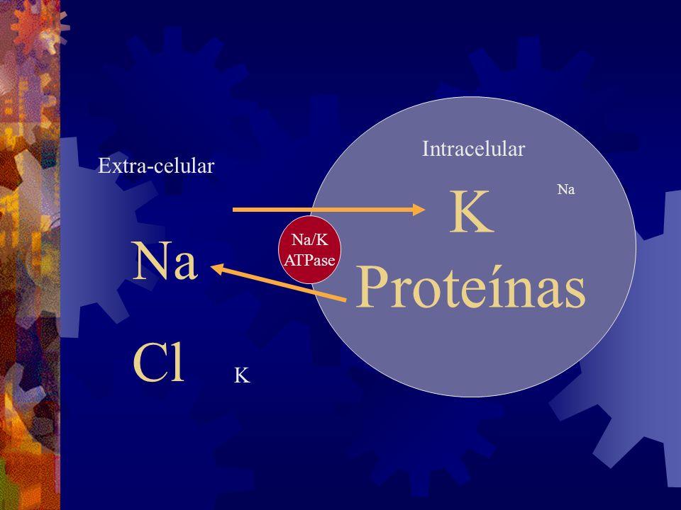 K Proteínas Intracelular Extra-celular Na Na/K ATPase Na Cl K