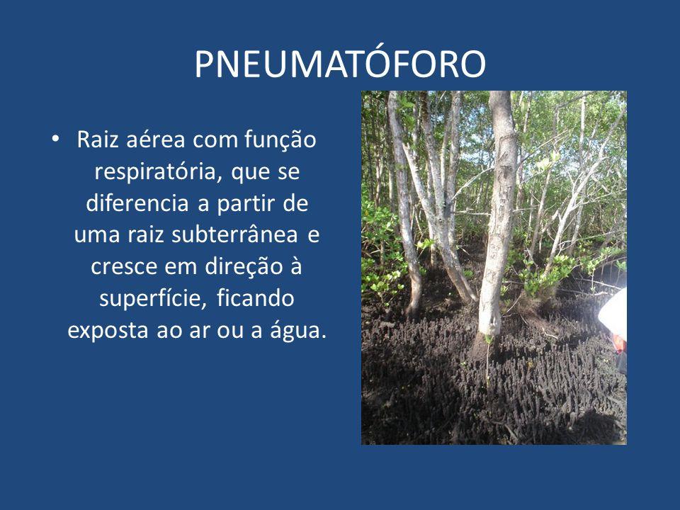 PNEUMATÓFORO