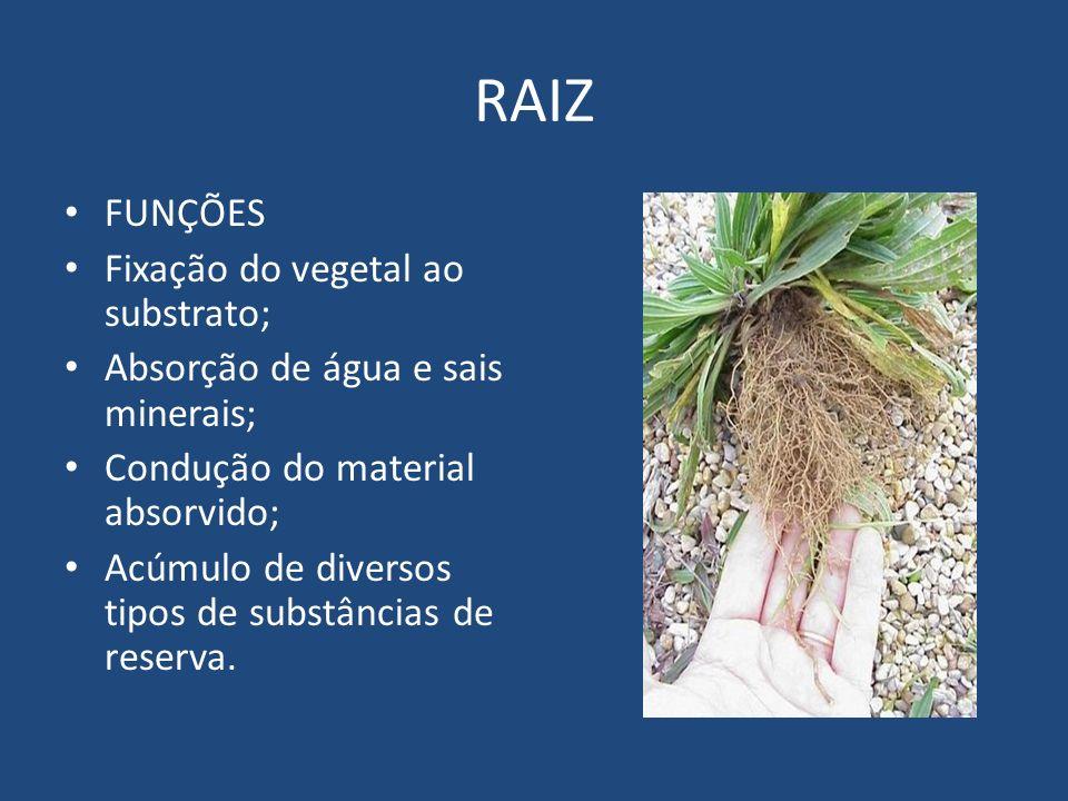 RAIZ FUNÇÕES Fixação do vegetal ao substrato;