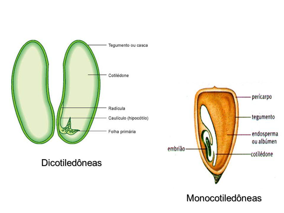 Dicotiledôneas Monocotiledôneas