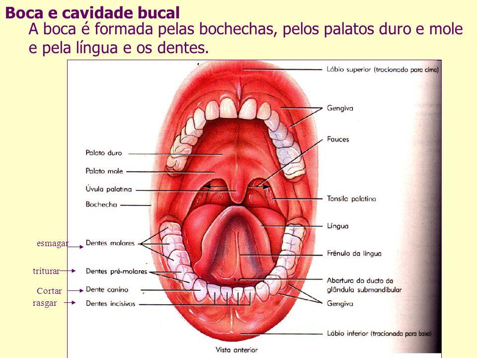 Boca e cavidade bucal A boca é formada pelas bochechas, pelos palatos duro e mole e pela língua e os dentes.