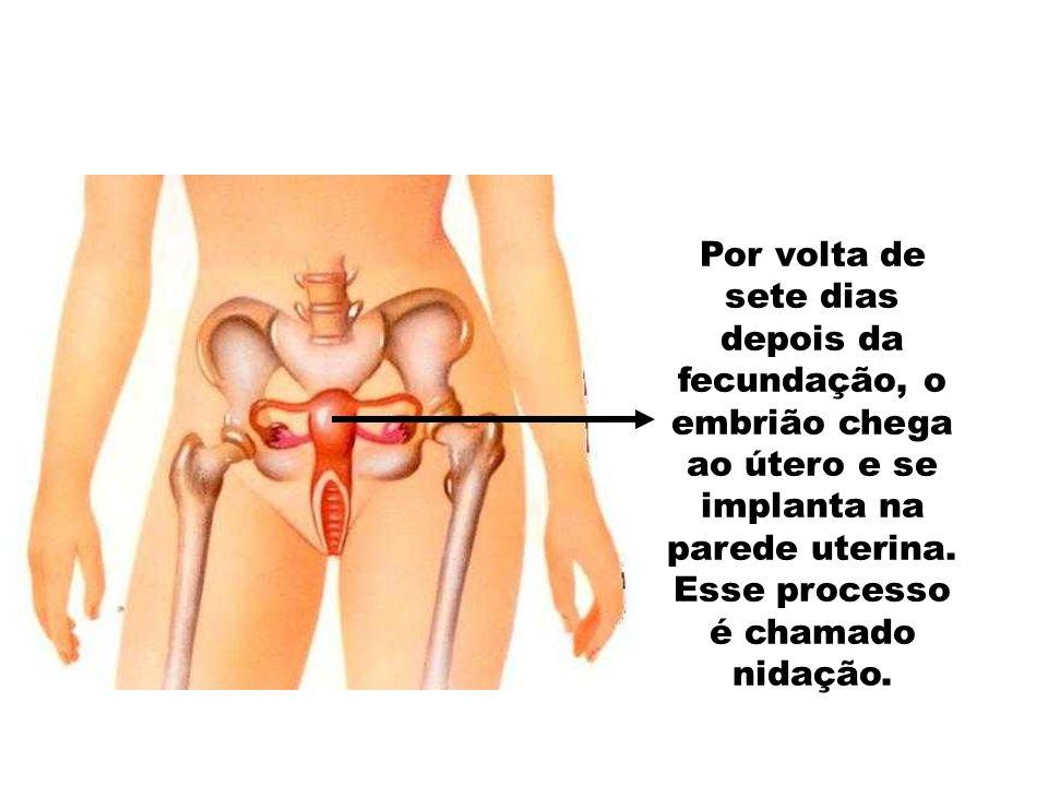 Por volta de sete dias depois da fecundação, o embrião chega ao útero e se implanta na parede uterina.