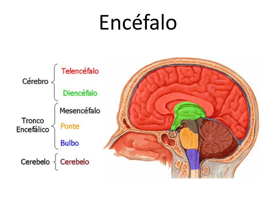 Encéfalo http://www.auladeanatomia.com/