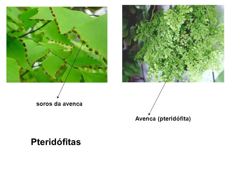 soros da avenca Avenca (pteridófita) Pteridófitas