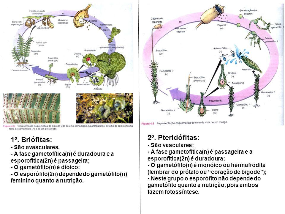 2º. Pteridófitas: 1º. Briófitas: - São vasculares; - São avasculares,