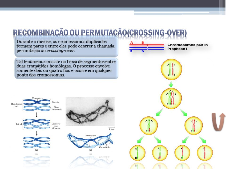 Recombinação ou Permutação(crossing-over)