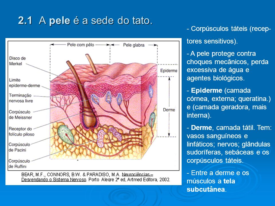 2.1 A pele é a sede do tato. Corpúsculos táteis (recep-