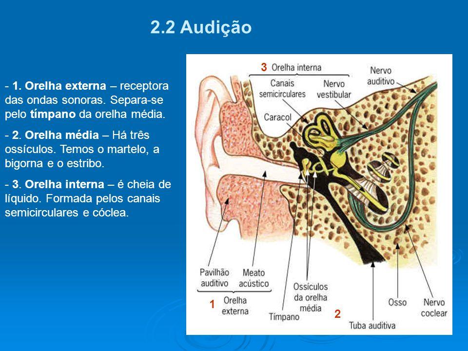 2.2 Audição 3. 1. Orelha externa – receptora das ondas sonoras. Separa-se pelo tímpano da orelha média.