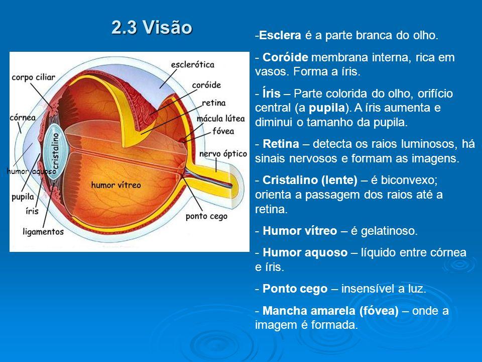 2.3 Visão Esclera é a parte branca do olho.