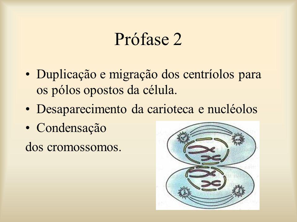 Prófase 2 Duplicação e migração dos centríolos para os pólos opostos da célula. Desaparecimento da carioteca e nucléolos.