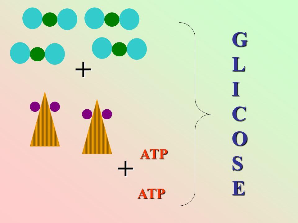 GLICOSE + ATP + ATP