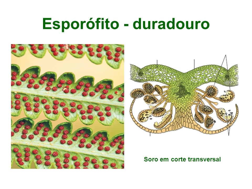 Esporófito - duradouro