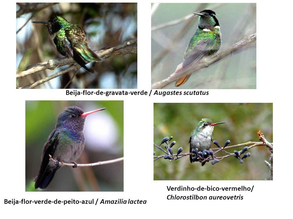 Beija-flor-de-gravata-verde / Augastes scutatus