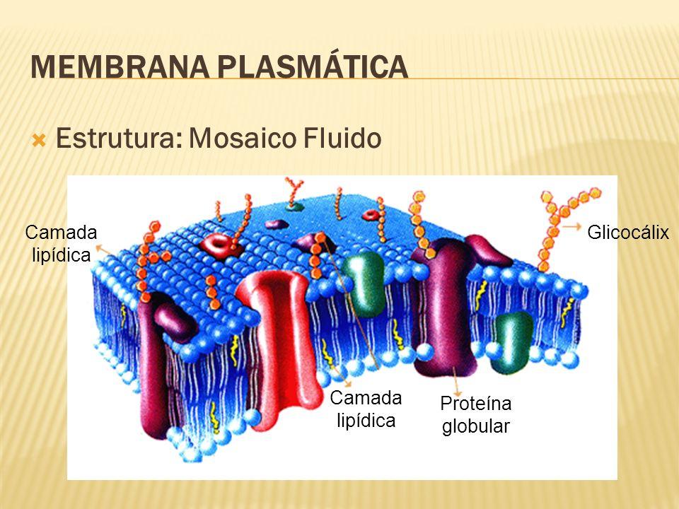 MEMBRANA PLASMÁTICA Estrutura: Mosaico Fluido Camada lipídica