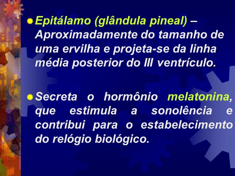 Epitálamo (glândula pineal) – Aproximadamente do tamanho de uma ervilha e projeta-se da linha média posterior do III ventrículo.