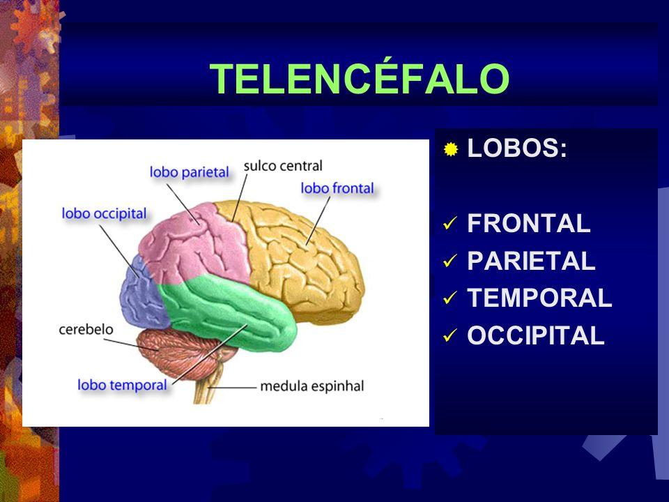 TELENCÉFALO LOBOS: FRONTAL PARIETAL TEMPORAL OCCIPITAL