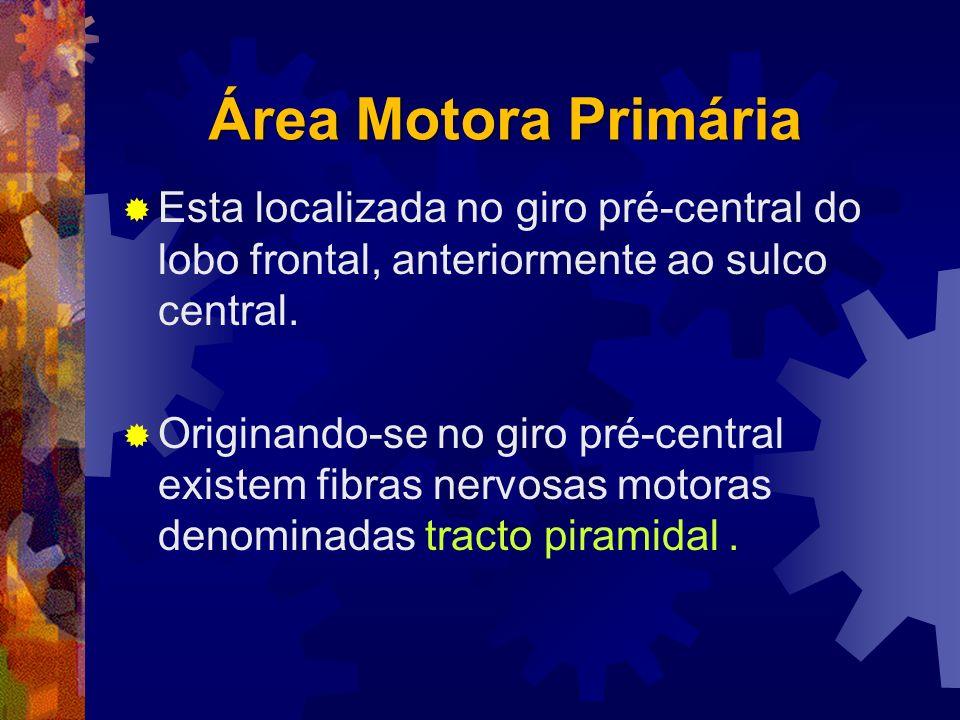 Área Motora Primária Esta localizada no giro pré-central do lobo frontal, anteriormente ao sulco central.