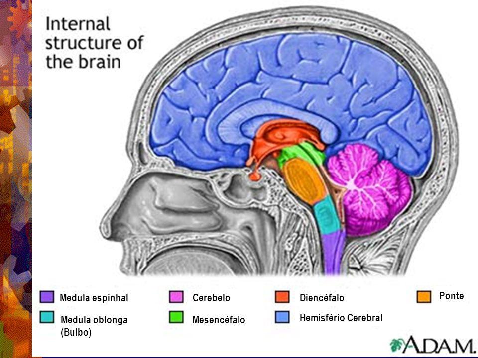 Medula espinhal Cerebelo Diencéfalo Ponte Medula oblonga (Bulbo) Mesencéfalo Hemisfério Cerebral
